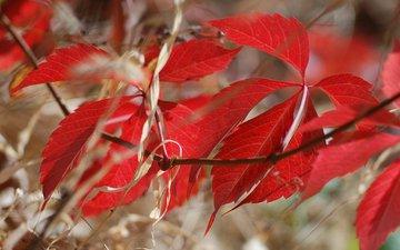 ветка, природа, листья, осень, багрянец