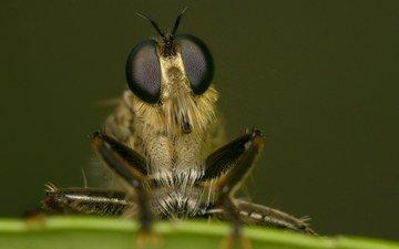 глаза, макро, насекомое, муха