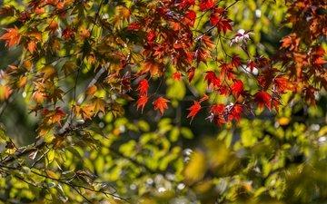 листья, ветки, осень, клен, японский клен