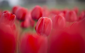 цветы, красные, весна, тюльпаны, клумба