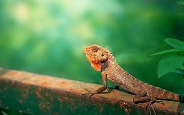 природа, ящерица, животное, на природе, garden lizard