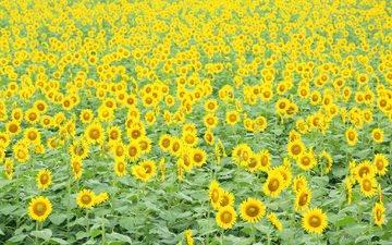 цветы, поле, подсолнухи