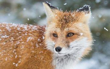 снег, зима, лиса, лис