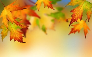 листья, осень, клен, опадают, осен, листья