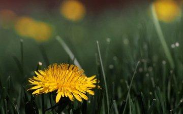 трава, цветок, одуванчик, цветком, taraxacum officinale