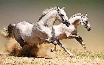 пара, лошади, кони, пыль, грива, бег, копыта, красавцы