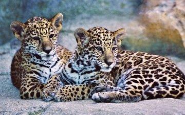 животные, хищники, ягуа́р, ягуары