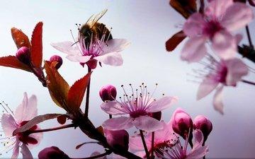 цветы, макро, насекомое, ветки, шмель, вишенка