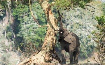 природа, дерево, слон, африка, хобот