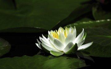 вода, цветок, лепестки, лилия, кувшинка
