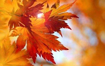листья, осень, клен, опадают, осен, багрянец, листья