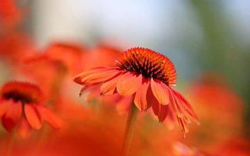 цветы, макро, лепестки, краски, эхинацея