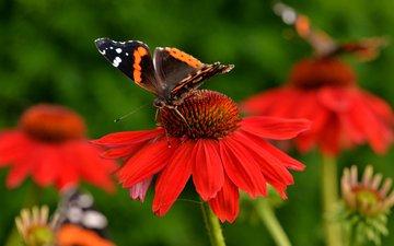 природа, насекомое, цветок, цвет, бабочка, эхинацея
