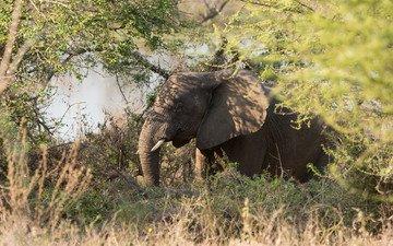 трава, природа, зелень, слон, африка