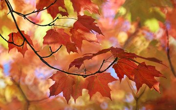 природа, листья, макро, осень, размытость, клен