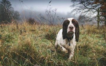 туман, собака, друг, спаниель