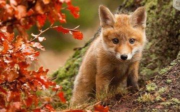 взгляд, осень, куст, лис, лисенок