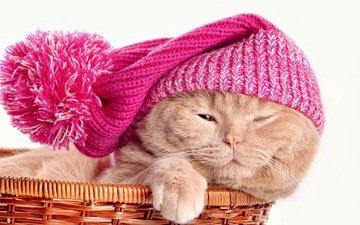 кот, кошка, шапка, корзинка, скоттиш-фолд, шотландская вислоухая кошка