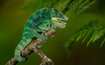 chamaeleo calyptratus, йеменский хамелеон, хамелеон ящерица