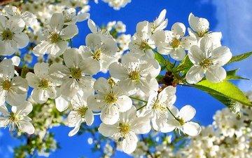 небо, цветы, ветки, вишенка, флора