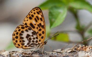 узор, бабочка, крылья, усики