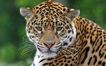 хищник, ягуар, животное, ягуа́р