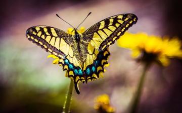 цветы, макро, насекомое, бабочка