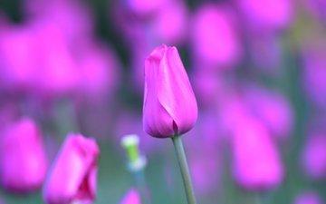 цветы, природа, лепестки, тюльпаны, завод, тюльпан, стебель, цветком