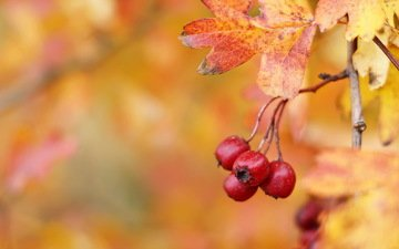autumn, berries, fruit, hawthorn, hawthorn berries