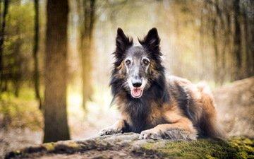 forest, look, dog, each, malinois, belgian shepherd, gabi uhlirova