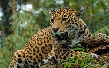 морда, хищник, большая кошка, ягуар, оскал, дикая кошка