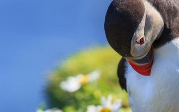 макро, птица, тупик, shetland islands, melancholy puffin