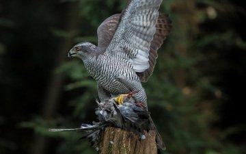 природа, птица, ястреб, хищная, тетеревятник