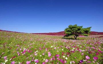 цветы, дерево, япония, луг, японии, космея, хитатинака, hitachi seaside park, приморский парк хитачи