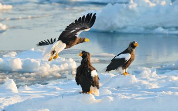 снег, зима, япония, птицы, хищники, хоккайдо, ястреб, белоплечий орлан