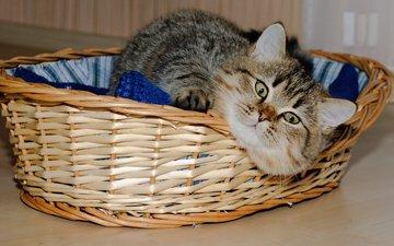 кошка, короткошерстная, британская, британская короткошерстная