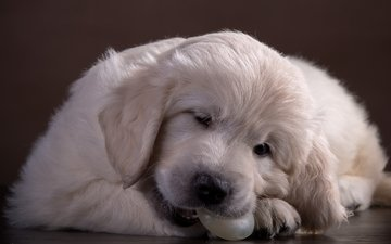 собака, щенок, ретривер, милый, золотистый ретривер, голден ретривер