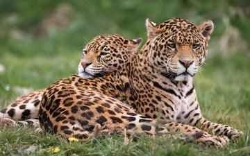 хищник, животное, ягуа́р, ягуары