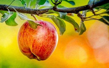природа, фон, яблоко