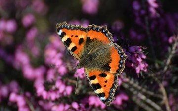 насекомое, бабочка, крылья, вереск