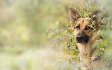 взгляд, собака, друг, немецкая овчарка, овчарка