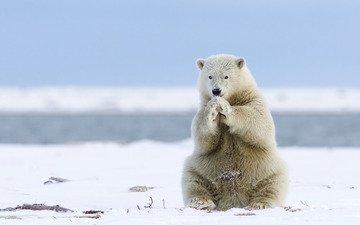 полярный медведь, медведь, белый медведь, аляска