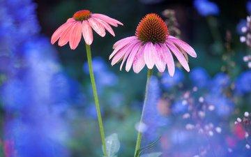 цветы, природа, лепестки, стебли, эхинацея