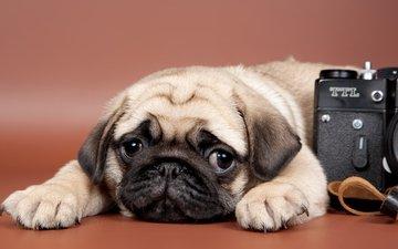 мордочка, взгляд, собака, щенок, фотоаппарат, камера, печаль, лапки, мопс