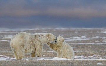 природа, фон, белые, медведи