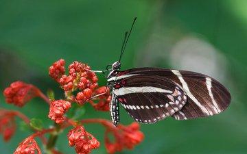 насекомое, цветок, бабочка, крылья, растение, мотылек