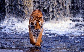 тигр, река, водопад, жищник