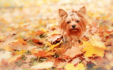 листья, взгляд, осень, собака, друг