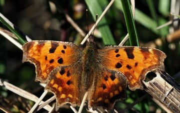 фон, бабочка, размытость, толстоголовка-запятая, hesperia comma