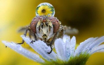 макро, насекомое, фон, цветок, капли, муха